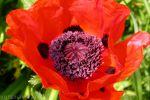 Цветок мака обошелся в тысячу рублей